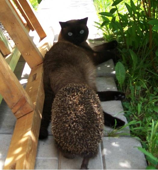 А вы пробовали удивить кота ежом?