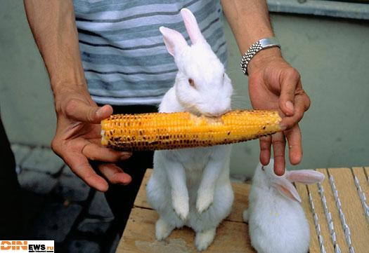 Кукуруза и кролик...