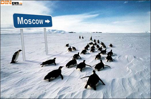 Пингвины рвутся в Москву! :)