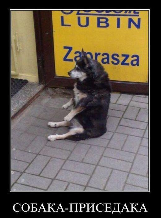 Собака-приседака