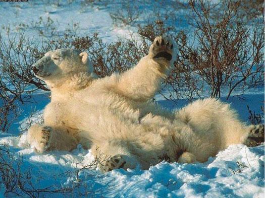 Превед весне! От белого медведа!
